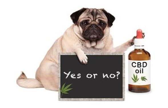 CBD Oil for Pets - Yes or No