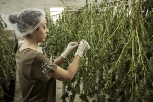 5 Ways How Technology Is Transforming The  Cannabis Industry